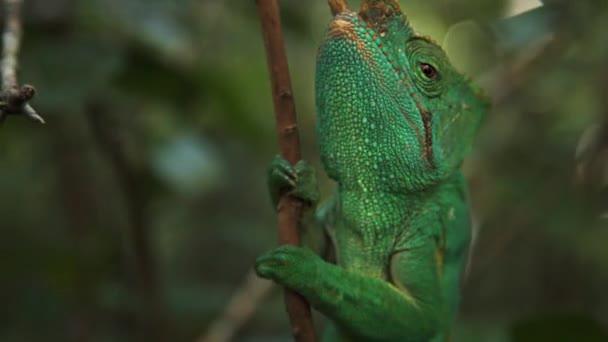 Chameleon na větvi v džungli.