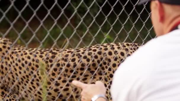 Man observes pacing cheetah from opposite side of fence