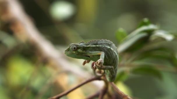 Side shot of rocking chameleon
