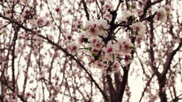 růžové květy stromu