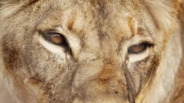 female lion head and eyes