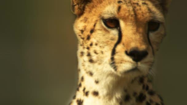 A riasztási cheetah közeli