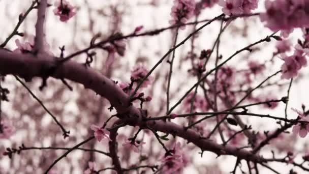kvetoucí růžové větve v Izraeli