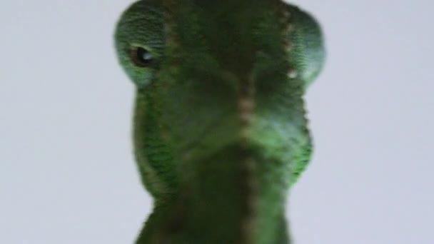 Zblízka pohyby očí chameleon zezadu