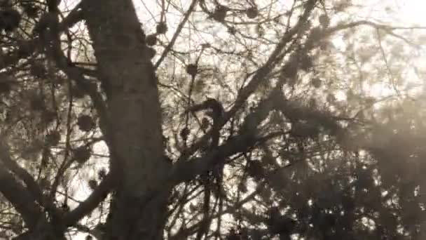 slunce přes borové větve v Izraeli
