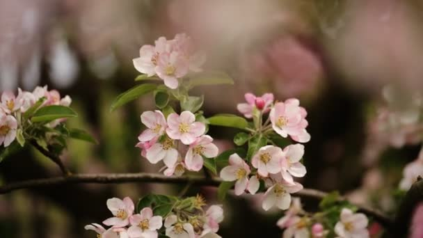 Cherry blossoms  blooming in spring.