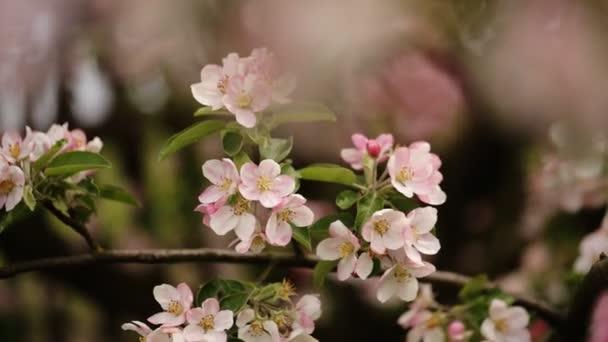 cseresznye virágok tavasszal virágzó