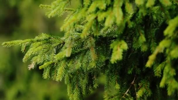 The branches of green fir close-up in sunny forest.