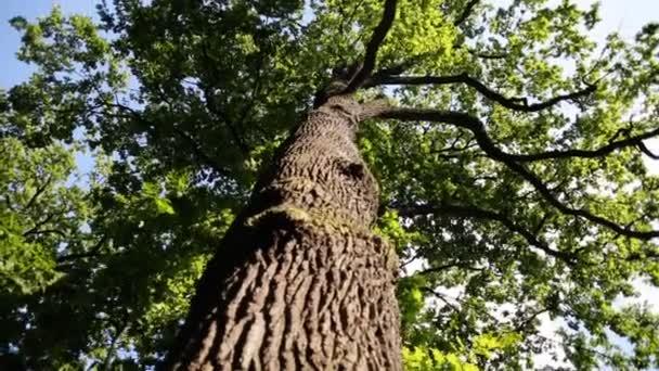 Buja lombozat, az öreg platánfa, ellen a kék nyári ég.