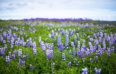 Lupine field in South Iceland. Bluebonnet. Skaftafell national park