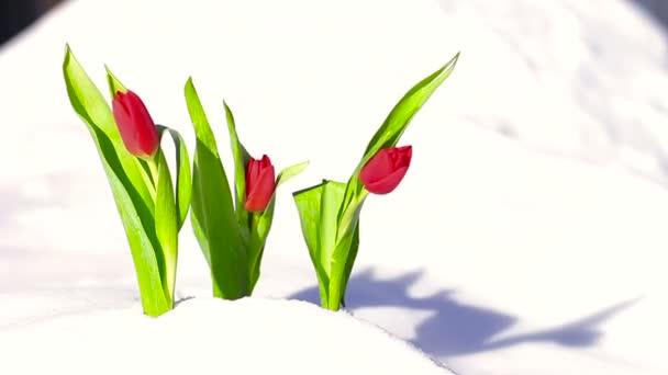 Červený květ Tulipán v čerstvém sněhu