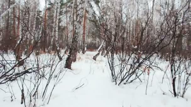 chůze na zasněžený březový les