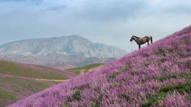 Báječný vzdušný let přes purpurově zbarvený kopec, na vrcholu je krásný bílý kůň na pozadí modré oblohy s mraky a horami. Pohled z ptačí perspektivy na krajinu snů.