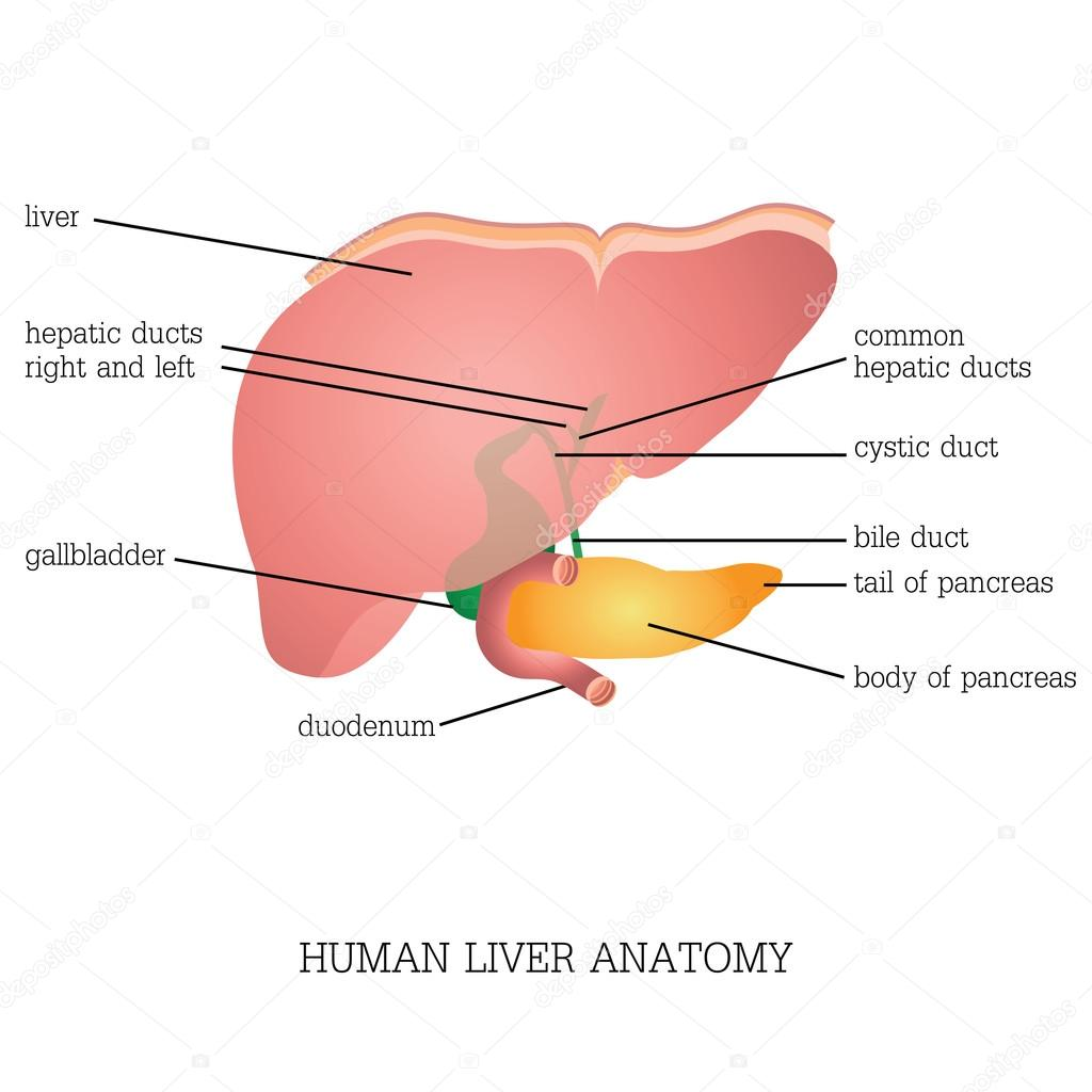 Structure And Function Of Human Liver Anatomy Stockvektor