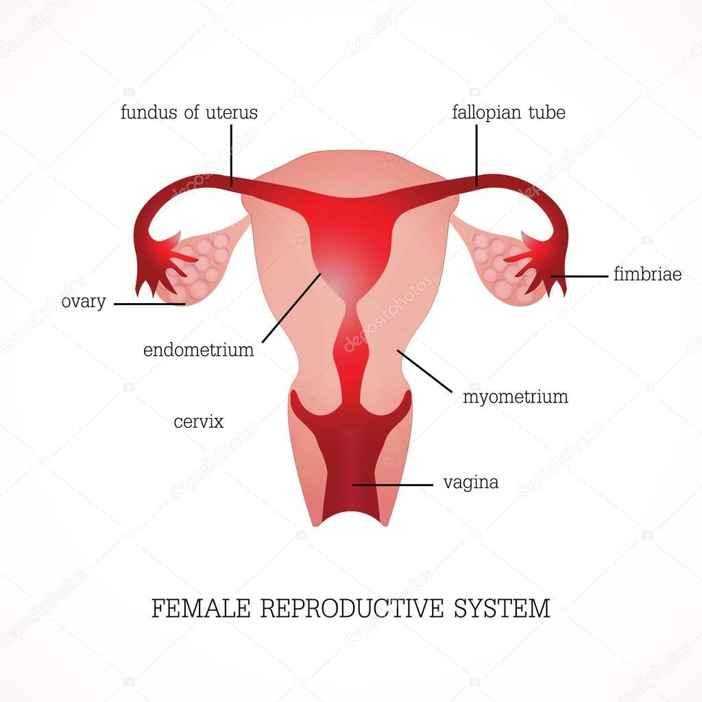 Struktur und Funktion des menschlichen weiblichen reproduktiven ...
