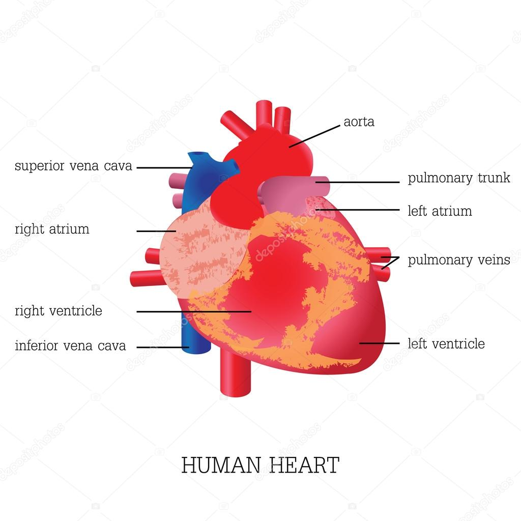 Structure and function of Human heart system. — Stock Vector ...