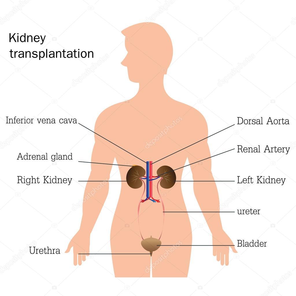 Estructura y función del sistema urinario — Archivo Imágenes ...