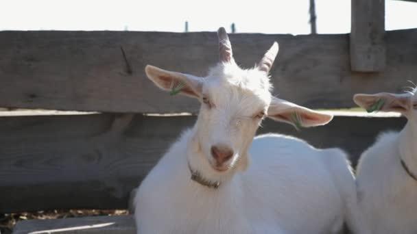 Mladá chůva koza stojící na dřevěném plotě se svým společníkem na farmě Veselý pohled na vtipnou mladou kozu chůvu s bavlněným límcem stojící u vlněného plotu na čerstvém vzduchu u svého společníka na farmě za slunečného dne v létě.