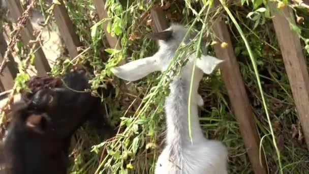 koza jíst trávu na farmě