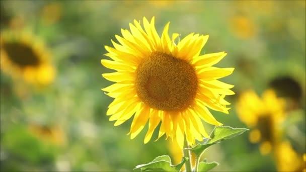 napraforgó, egy napsütéses napon