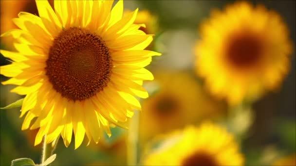 napraforgó, egy napsütéses nyári nap, virágok