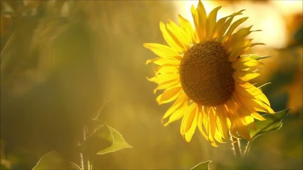 Krásná slunečnic večer