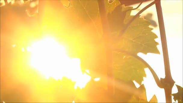 Hroznové listy na sluneční paprsky