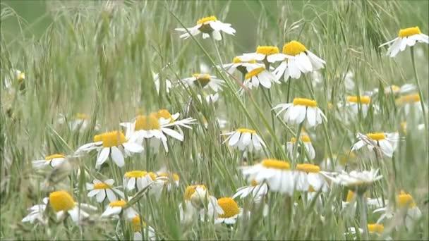 chamomiles on green field