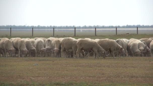 Stádo ovcí na hřišti