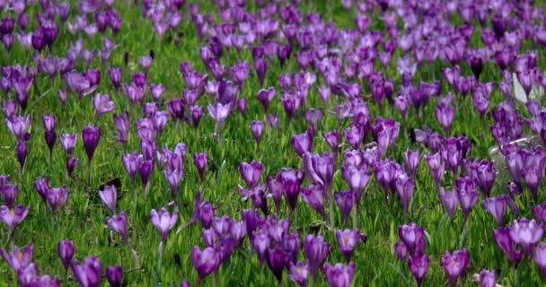 Šafrán je rod jednoděložných rostlin z čeledi iris