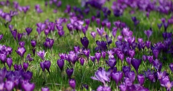Bereich der blühenden Krokusse in den Bergen im Frühling