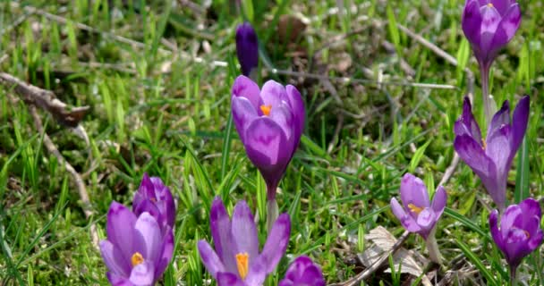 Beautiful Violet Crocus Flowers in the Garden. Sign of Spring