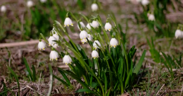 View of Bloomings Snowdrops in Early Spring Close up