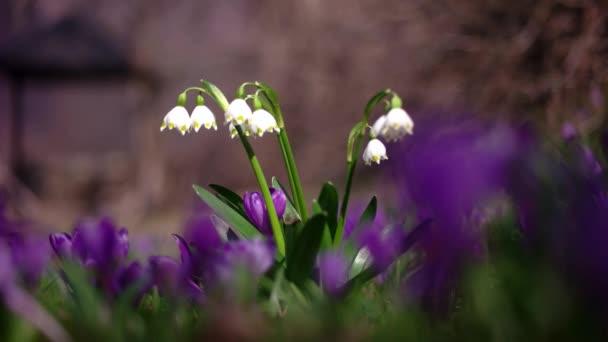 Jarní květiny sněhové vločky, Leucojum Vernum, skupina v lese na jaře