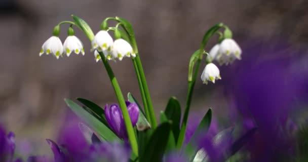 Spring Snowflake Flowers, Leucojum Vernum, Group in a Spring Forest