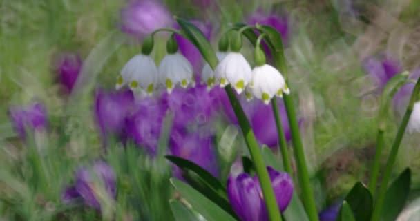Skupina bledule jarní na rozmazané pozadí
