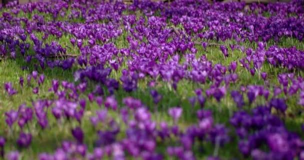 Archiv-lila šafrán květy na jaře
