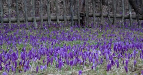 Filed of Purple Crocus Flowers in Spring
