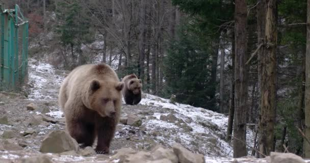 Two Brown Bears, Elooking For Food, Wilderness