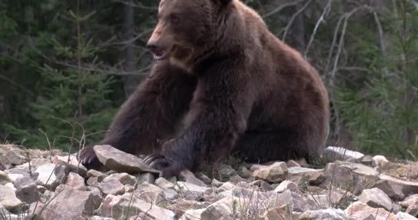 Medvěd hnědý, jídlo, hraní, sezení, pohledu, charakter, poušti