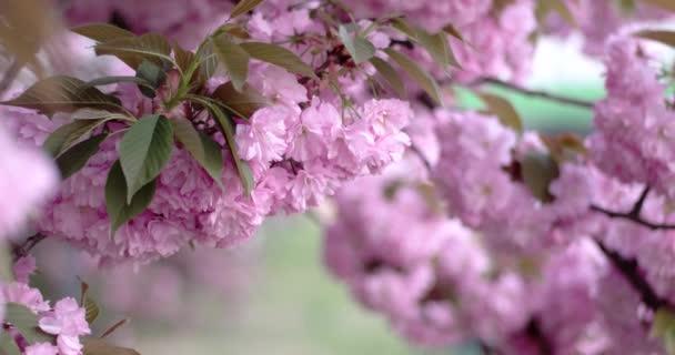 Růžové krásné japonská třešeň kvetoucí Closeup za denního světla na přírodní pozadí