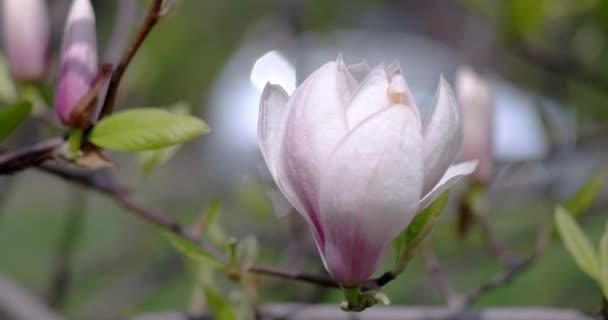 Větev Magnolie kvete květy na jaře.