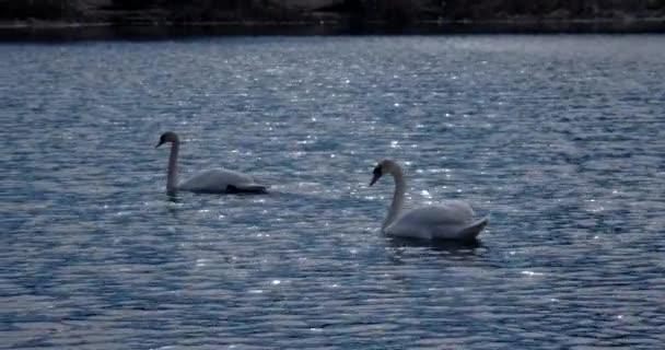 Mute Swan pár plavání v mělkých klidné vodě