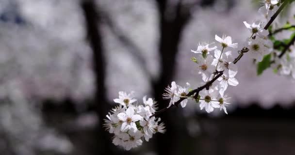 Pozadí s kvetoucí větve bílé třešeň