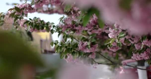 Japán cseresznyefa Sakura-ág virágzó Vértes