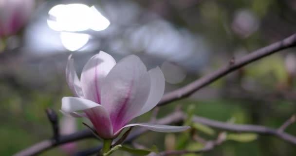 Květy magnólie Fullerovy v jarním období