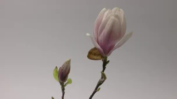 Magnolia Soulangeana Flower otevírací doba zaniká