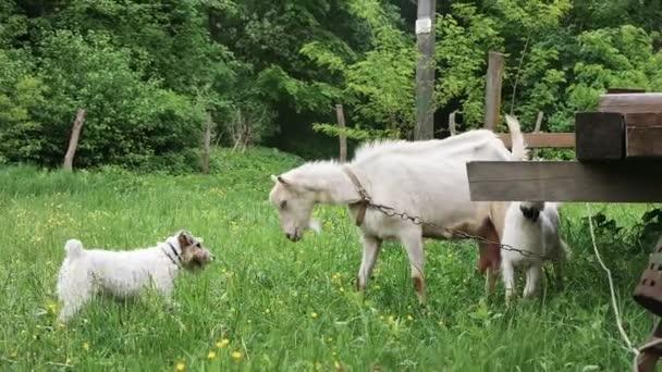 Mutter Ziegenkolben mit Hund, um ihr Kind zu schützen