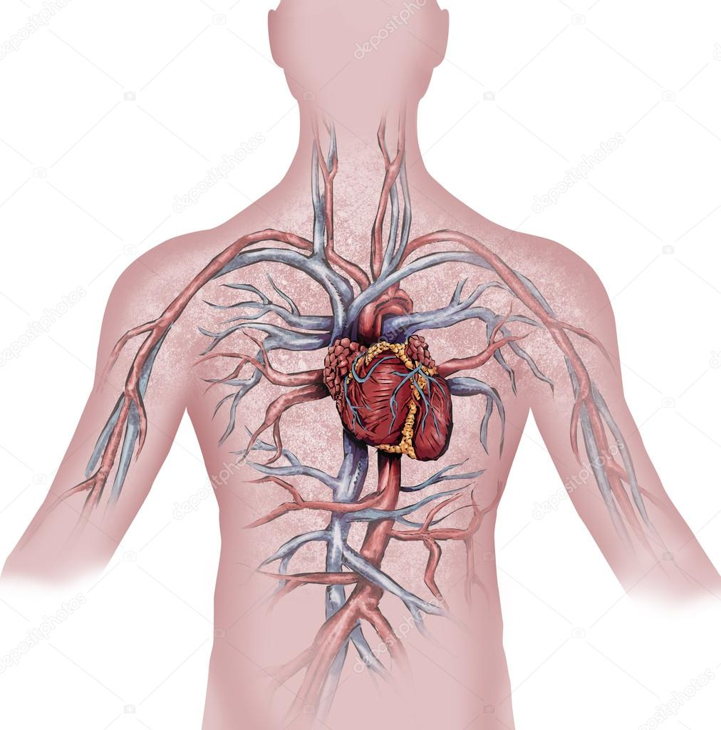 corazón sistema circulatorio humano — Foto de stock © Dante1969 ...