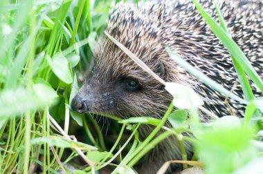 hedgehog in wildlife